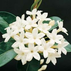 Qual o significado da flor de jasmim