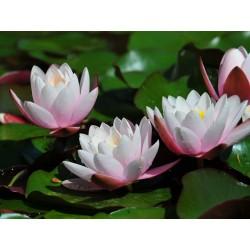 Qual o significado da flor de lótus